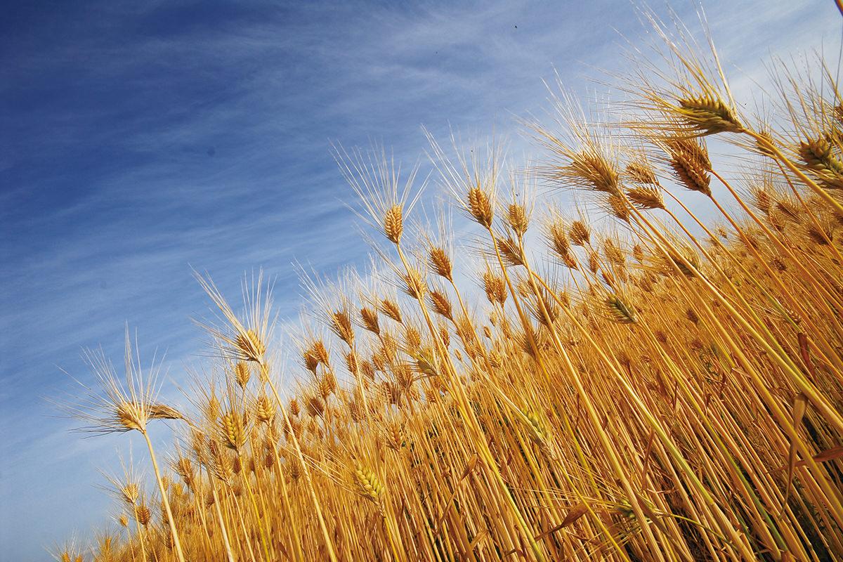 小松産 大麦畑