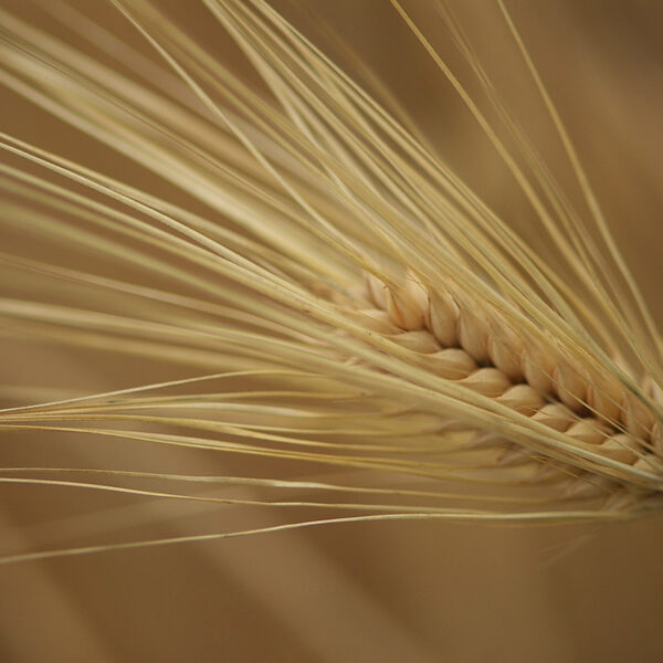 小松産大麦(アップ)